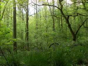 Bluebell wood above the Hermitage